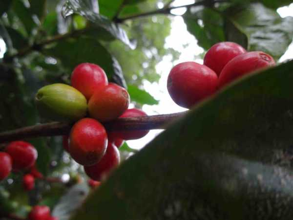 vidyodaya_coffee_red_beans_web